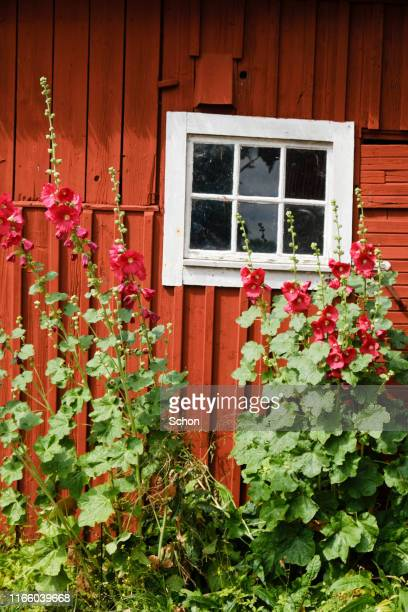 red wall with window to a barn with hollyhock on a sunny summer day - エーランド ストックフォトと画像