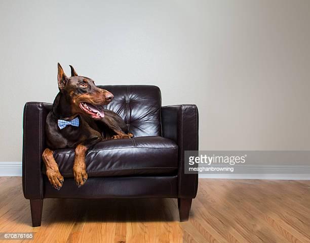 red warlock doberman pinscher dog sitting on leather chair - red warlock doberman pinscher stock pictures, royalty-free photos & images