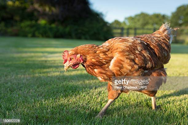 red warren hen - domestic animals stock pictures, royalty-free photos & images