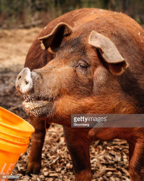 A Red Wattle pig feeds at the Stone Barns farm in Pocantico Hills New York US on Friday April 21 2017 As customers are increasingly demanding...