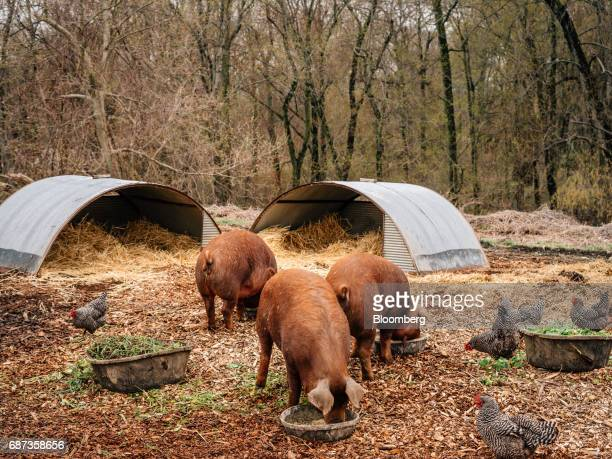 Red Wattle pigs feed as chickens walk around the Stone Barns farm in Pocantico Hills New York US on Friday April 21 2017 As customers are...