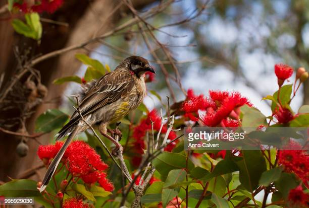 Red Wattlebird collecting nectar from a flower