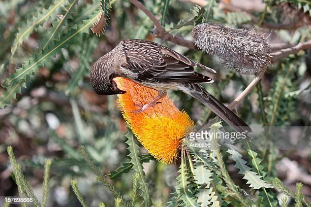 Red wattlebird feeding on Banksia flower Perth Western Australia