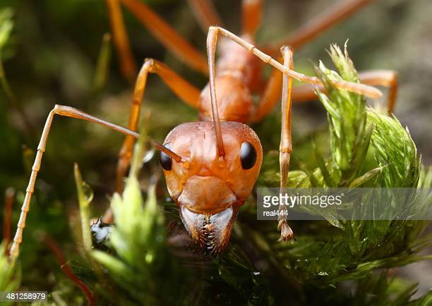 red weaver ant - ants stock pictures, royalty-free photos & images