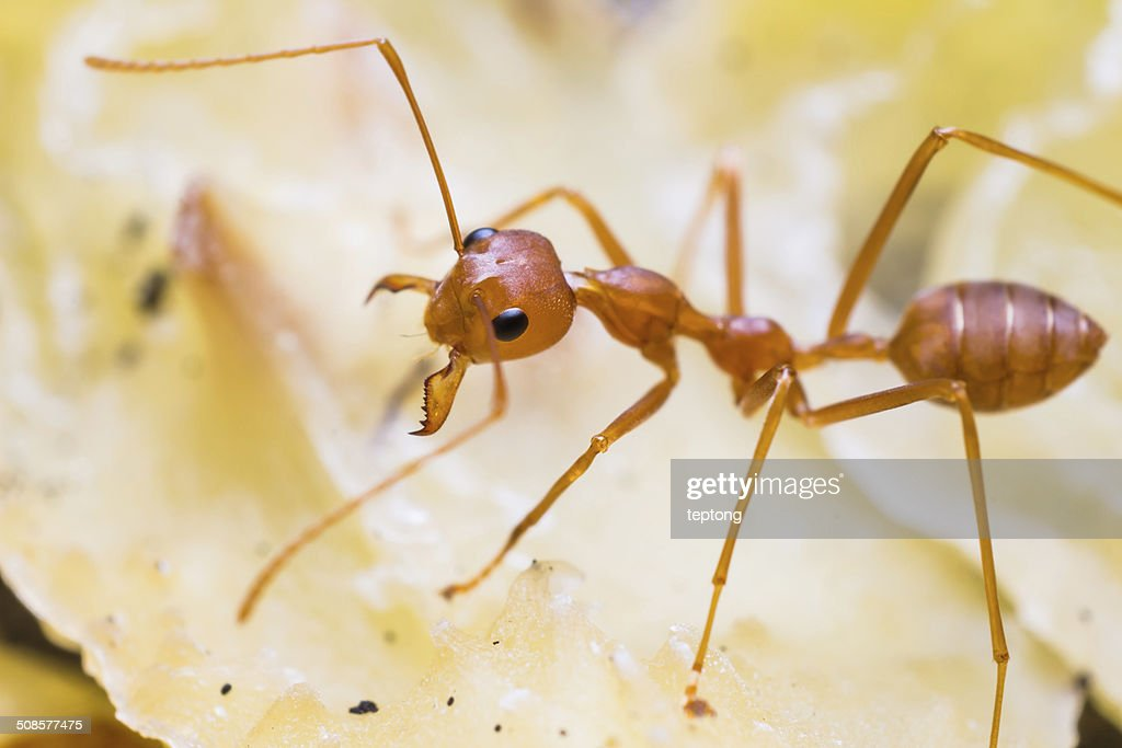 Red weaver ant : Stock Photo