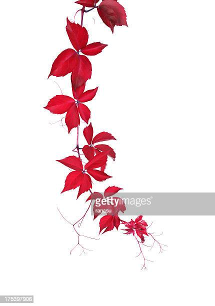 red wild vine - vine plant stock photos and pictures