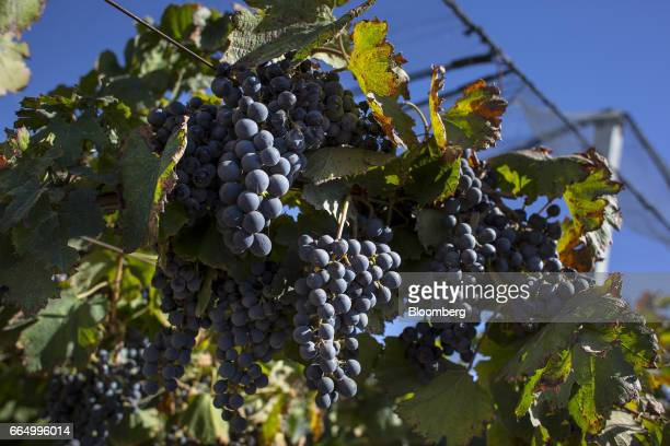 Red wine grapes hang from a vine at the Bodega Santa Julia Finca Maipu vineyard in Mendoza Argentina on Tuesday March 23 2017 The Argentine wine...