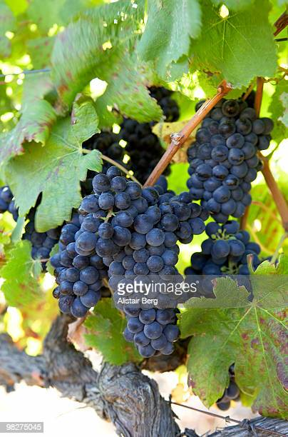 red wine grapes hanging on vine - cabernet sauvignon grape stock photos and pictures