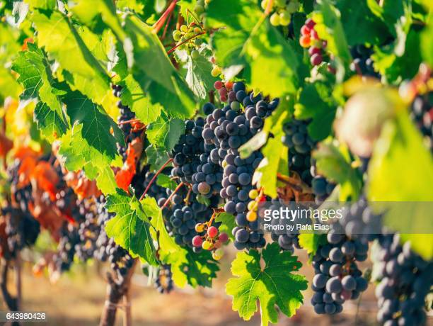 red wine grapes in vineyard - wine harvest stock pictures, royalty-free photos & images