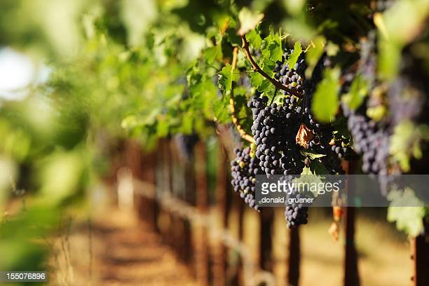 red wine grapes in vineyard with selective focus - sonoma county stock pictures, royalty-free photos & images