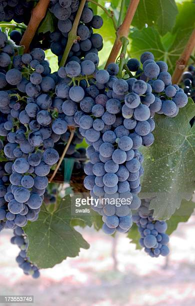 red wine grapes - cabernet sauvignon grape stock photos and pictures