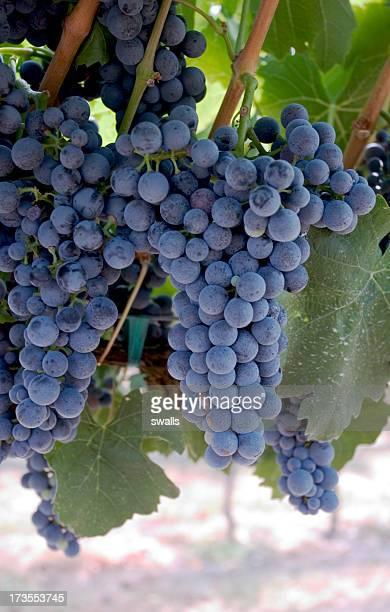 レッドワイン用のブドウ - cabernet sauvignon grape ストックフォトと画像