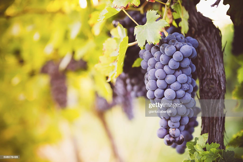 Red wine grapes : Stock Photo