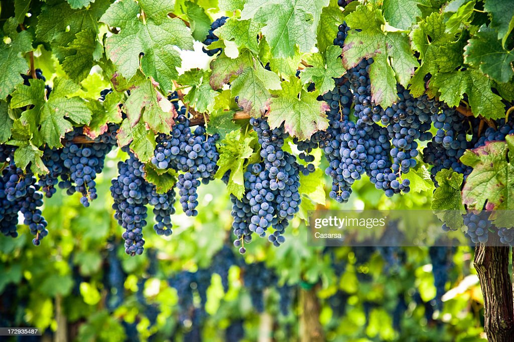 Red wine vineyard : Stock Photo