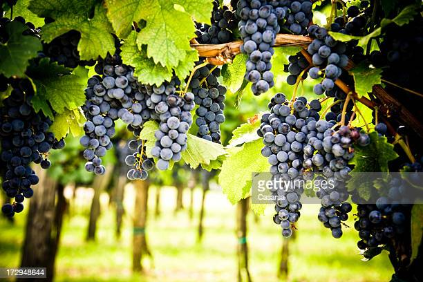 red wine vineyard - pinot noir grape stock photos and pictures