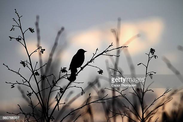 Red winged black bird perched at sunset