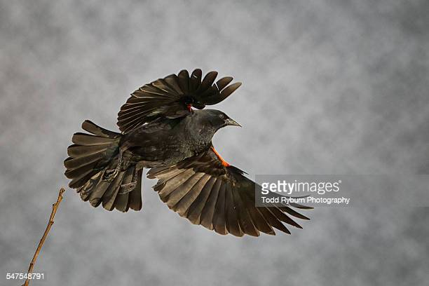 red winged black bird takeoff - merel stockfoto's en -beelden
