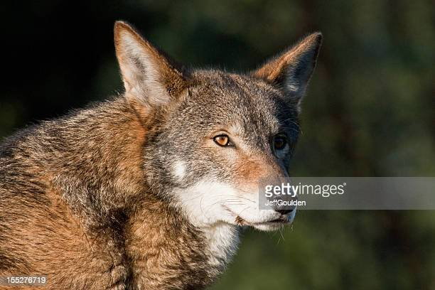 red wolf at rest - red wolf stock photos and pictures