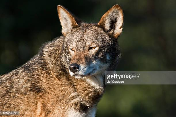 red wolf basking in the evening light - red wolf stock photos and pictures