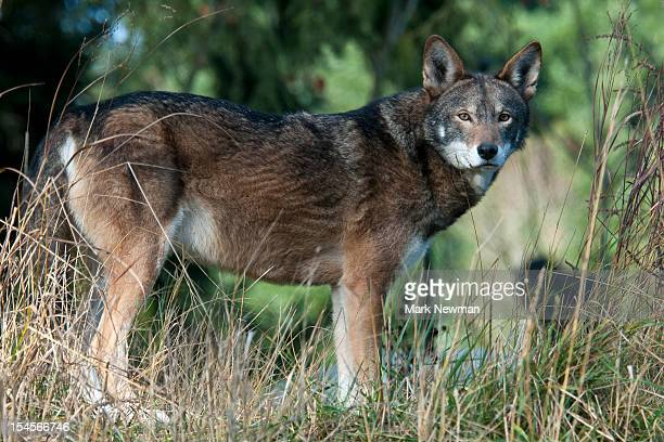 red wolf (canis rufus), endangered species - red wolf stock photos and pictures