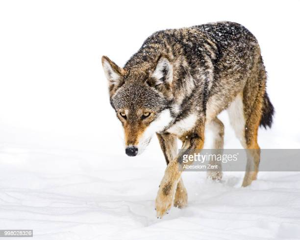 red wolf in snow xii - red wolf stock photos and pictures