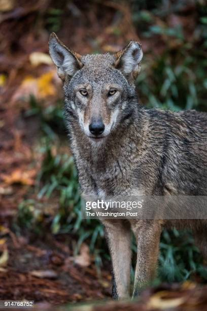 Red Wolf is seen at the North Carolina Museum of Life Science on Thursday November 8 in Durham NC