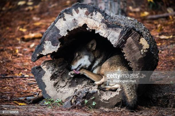 Red Wolf meal clean himself at the North Carolina Museum of Life Science on Thursday November 8 in Durham NC
