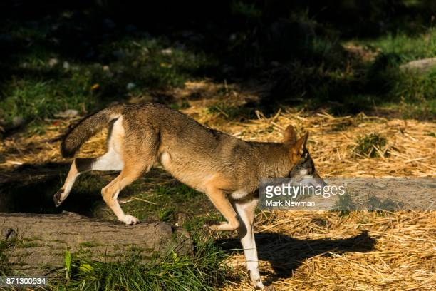 red wolf - red wolf stock photos and pictures