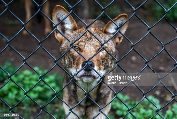 a red wolf (canis rufus) standing behind a wire fence - red wolf stock photos and pictures