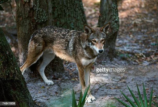 red wolf. usa - red wolf stock photos and pictures