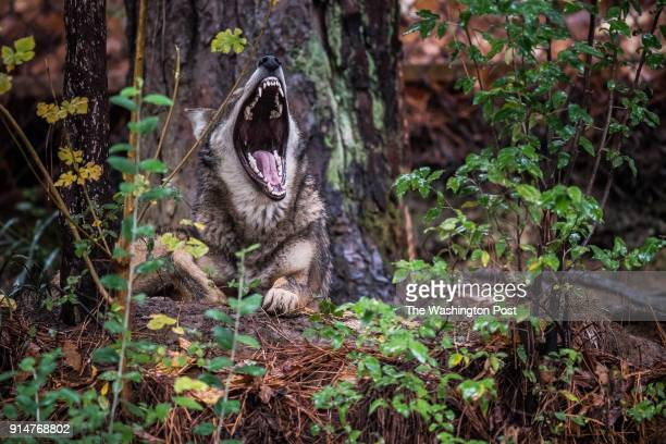 Red Wolf yawns at the North Carolina Museum of Life Science on Thursday November 8 in Durham NC