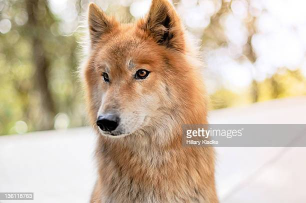 red wolfdog - red wolf stock photos and pictures