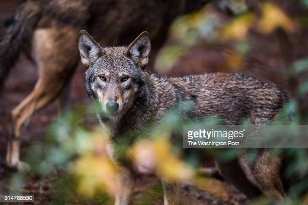 Red Wolves are seen at the North Carolina Museum of Life Science on Thursday November 8 in Durham NC
