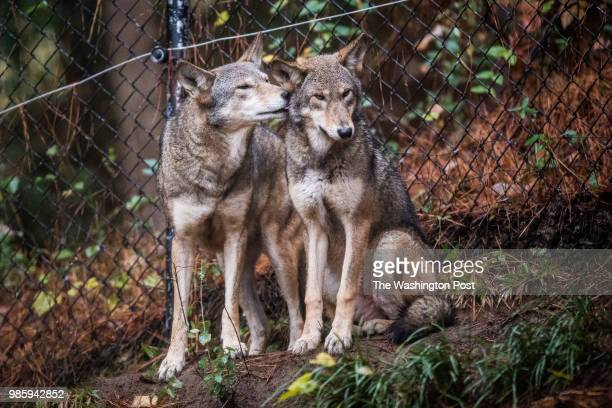 Red Wolves pups are seen at the North Carolina Museum of Life Science on Thursday November 8 in Durham NC