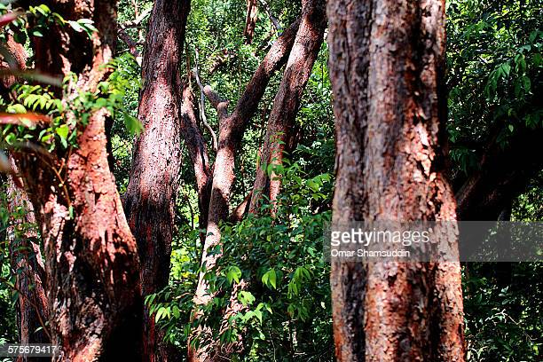 red wood in tropical forest - omar shamsuddin stock pictures, royalty-free photos & images
