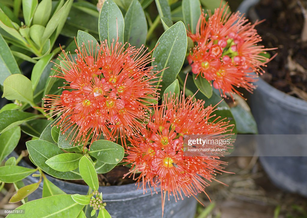 red xanthostemon chrysanthus flowers : Stock Photo