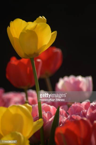 Red Yellow and Pink Tulips. Spring sunshine