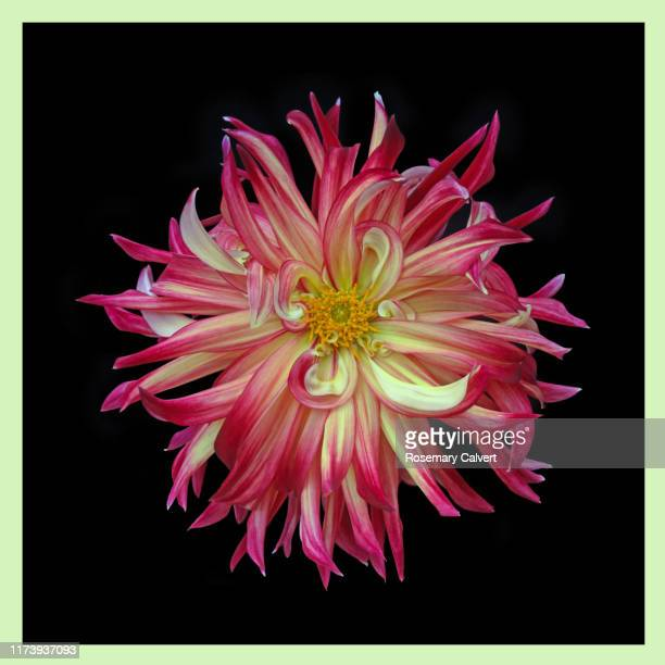 red & yellow dahlia, on black square with yellow border. - black border stock pictures, royalty-free photos & images