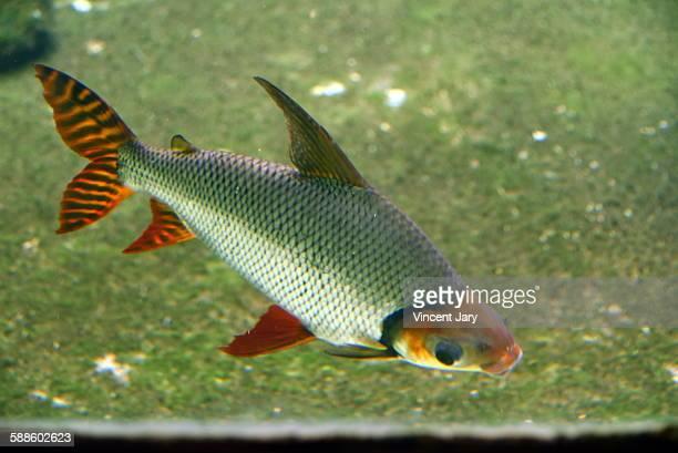 Red zebra fish tail