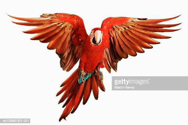 red-and-green macaw (ara chloroptera) against white background - flying stock photos and pictures