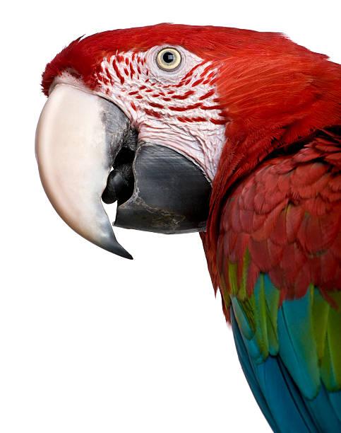Red-and-green Macaw - Ara chloropterus