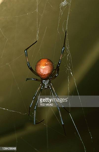 red-back spider in web