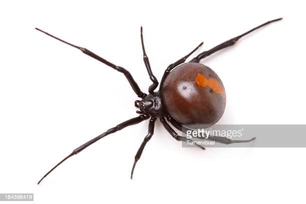 Araignée à dos rouge (Latrodectus Hasselti) isolé