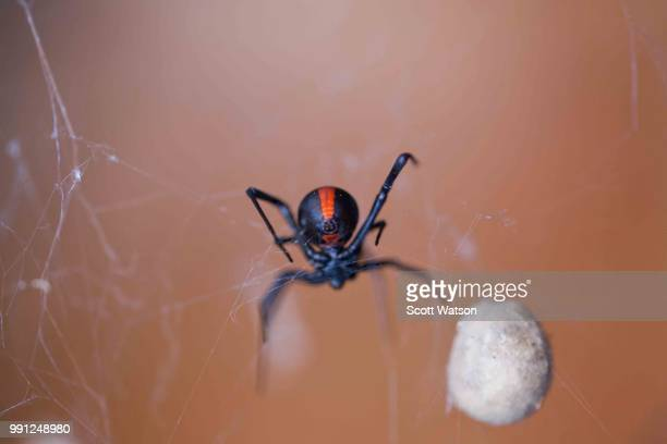 Redback spider with eggs