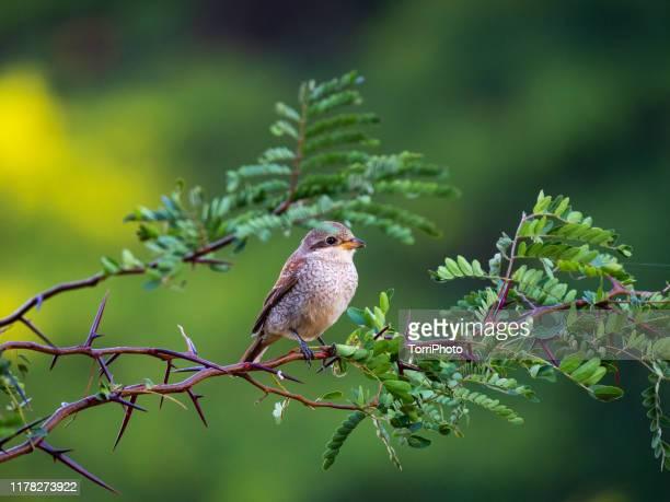 red-backed shrike, female bird - pájaro fotografías e imágenes de stock