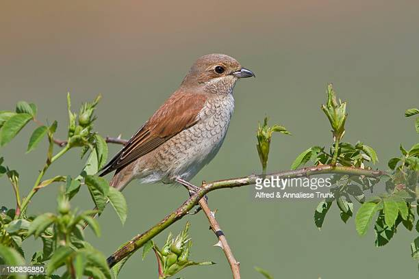 red-backed shrike (lanius collurio) - vista lateral stock pictures, royalty-free photos & images