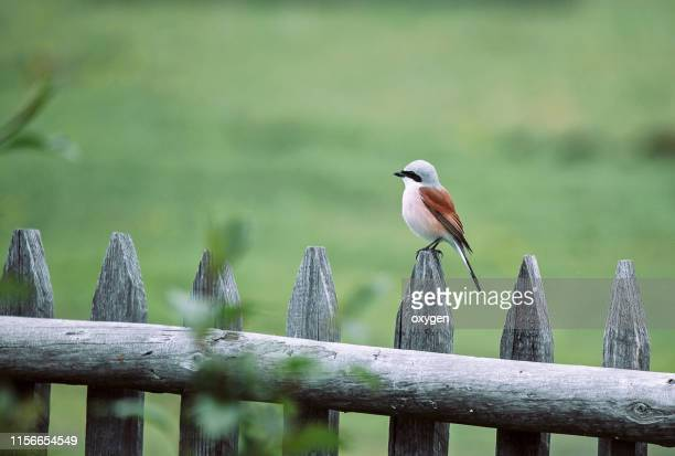 red-backed shrike sitting on the fence, lanius collurio - swallow bird stock pictures, royalty-free photos & images