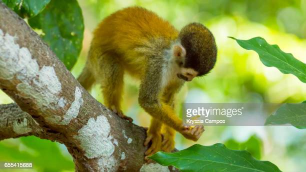 Red-backed Squirrel Monkey holding fruit