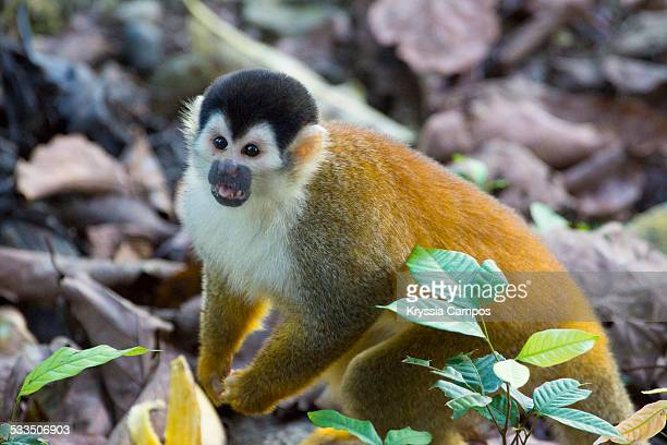 Red-backed Squirrel Monkey looking for food