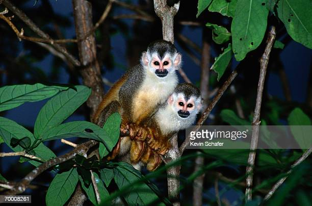 Red-backed squirrel monkeys in tree, Costa Rica